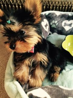 YORKSHIRE TERRIER - COOKIE - FEMALE