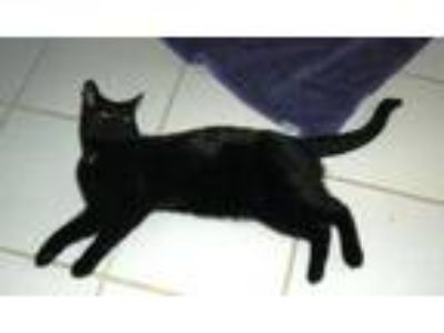 Adopt Damien a Domestic Short Hair