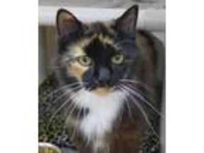 Adopt Callie a Tortoiseshell Domestic Shorthair / Mixed (short coat) cat in