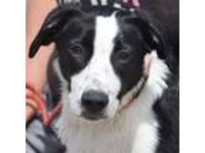 Adopt Spuds a Border Collie, Black Labrador Retriever