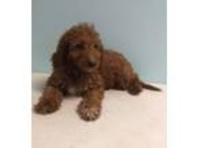 Adopt Rian a Irish Setter / Poodle (Standard) dog in Manhattan, NY (25547352)