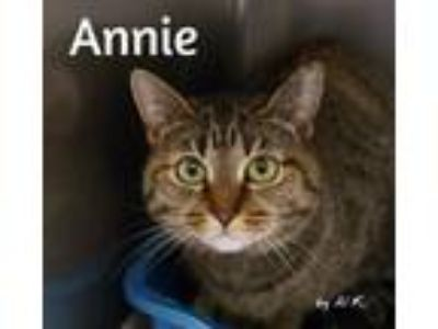 Adopt Annie a Brown or Chocolate (Mostly) Domestic Shorthair (short coat) cat in