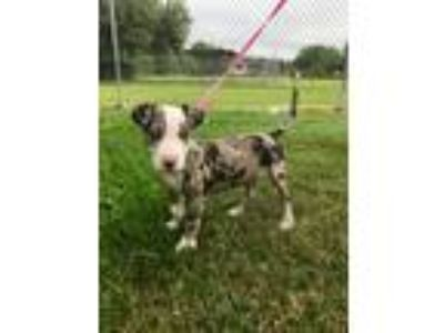 Adopt Gwendolyn a Merle Bull Terrier / Catahoula Leopard Dog / Mixed dog in