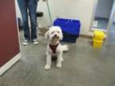 Adopt Griffey a White Poodle (Toy or Tea Cup) / Mixed dog in Everett
