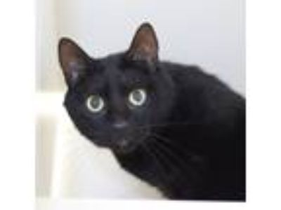 Adopt Tristan a All Black Domestic Shorthair / Domestic Shorthair / Mixed cat in