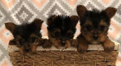 AKC Yorkie Yorkshire Terrier Puppies 8 weeks old VET Checked
