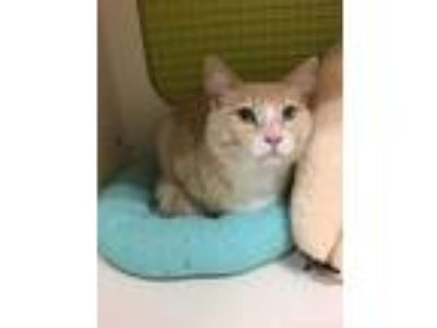 Adopt Bruce a Orange or Red Domestic Shorthair (medium coat) cat in San