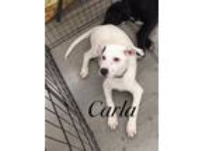 Adopt Carla a Terrier (Unknown Type, Small) / Mixed dog in Comanche