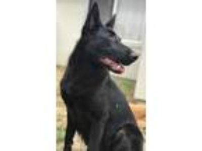 Adopt Verity a Black German Shepherd Dog / Mixed dog in San Clemente