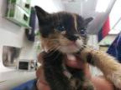 Adopt PANCAKE a Calico or Dilute Calico Domestic Shorthair / Mixed (short coat)
