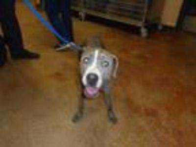 Adopt Dog a Brindle - with White American Pit Bull Terrier / Mixed dog in