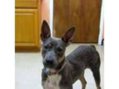 Adopt Zoey a Cattle Dog