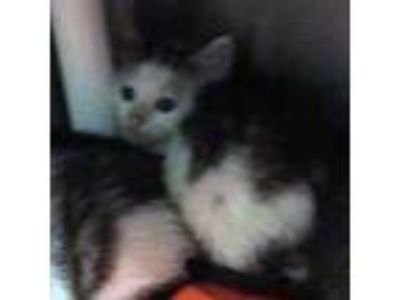 Adopt James a White Domestic Shorthair / Domestic Shorthair / Mixed cat in
