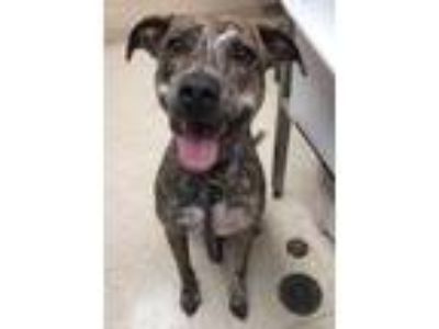 Adopt Alice a Brindle Shepherd (Unknown Type) / Mixed dog in Noblesville