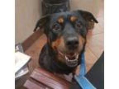 Adopt Tabby a Rottweiler