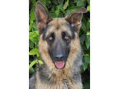 Adopt Bass von Stabfurt a German Shepherd Dog