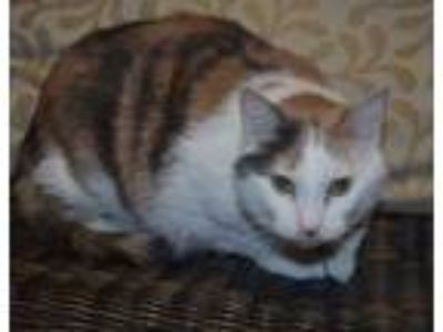 Adopt Lilly a White Domestic Shorthair / Domestic Shorthair / Mixed cat in