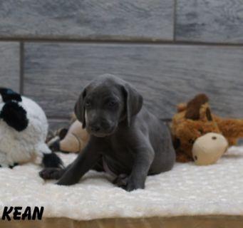 Weimaraner PUPPY FOR SALE ADN-90287 - Weimaraner AKC puppies champion pedigree