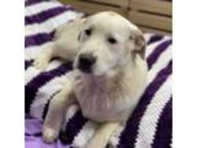 Adopt Cramer a White - with Tan, Yellow or Fawn Great Pyrenees / St.