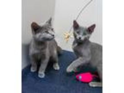 Adopt Maisie and Maud a Domestic Short Hair, Russian Blue