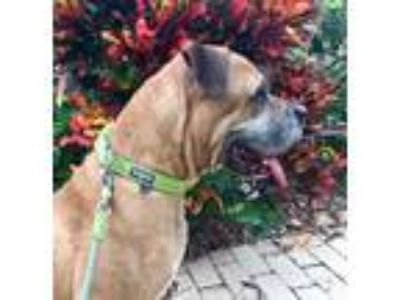 Adopt Buddy a Tan/Yellow/Fawn - with Black Bullmastiff / Mixed dog in Laurel