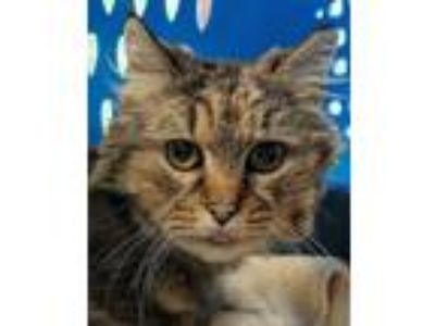 Adopt Estelle a Brown Tabby Maine Coon cat in Bolton, CT (25215374)
