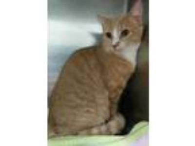 Adopt Tom a Tan or Fawn American Shorthair / Domestic Shorthair / Mixed cat in