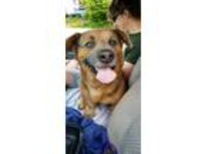 Adopt Rex a Tricolor (Tan/Brown & Black & White) Basset Hound / Corgi / Mixed