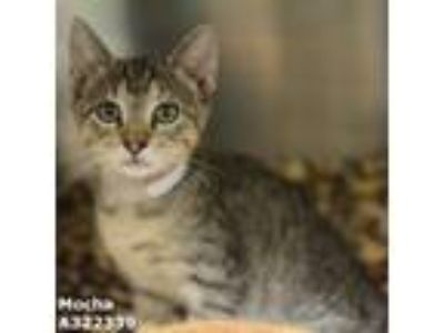 Adopt MOCHA a Brown Tabby Domestic Shorthair / Mixed (short coat) cat in Conroe