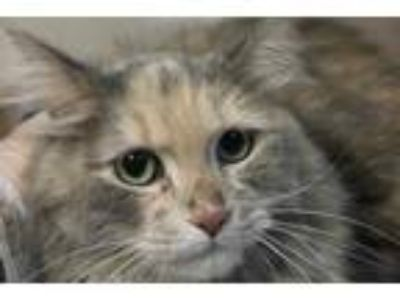 Adopt Tina a Gray or Blue Domestic Longhair / Domestic Shorthair / Mixed cat in