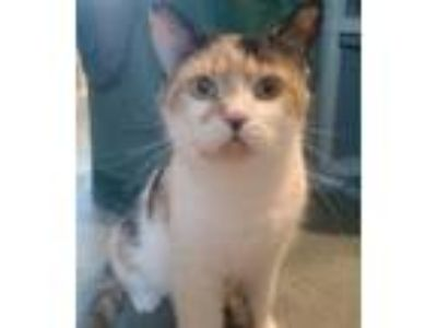 Adopt Twila a Calico, Domestic Short Hair