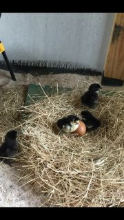 Lavender Orpington/Copper Maran Chicks