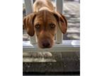 Adopt Laurel a Hound, Coonhound