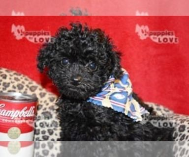 Poodle (Toy) PUPPY FOR SALE ADN-128443 - AKC TOY FULL REGISTRATION