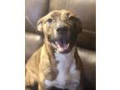 Adopt NALA a American Staffordshire Terrier / Mixed Breed (Medium) dog in Grand
