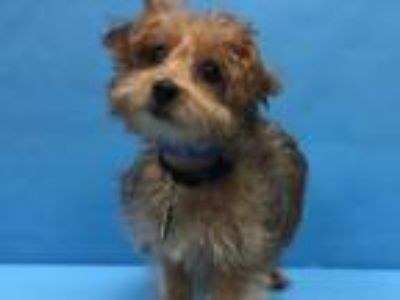 Adopt Buster a Yorkshire Terrier, Poodle