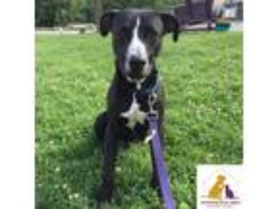 Adopt Sunoco a Black - with White Pit Bull Terrier / Mixed dog in Eighty Four