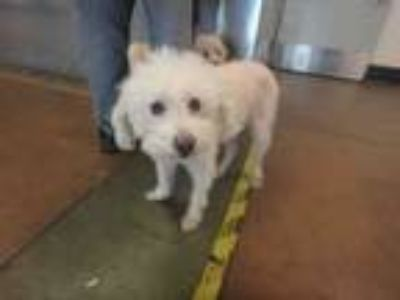Adopt MICKEY a Poodle