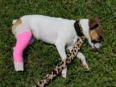Adopt LUCY - puppy with a broken leg a Jack Russell Terrier