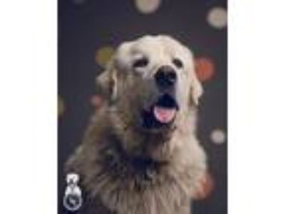 Adopt Uno a White Great Pyrenees / Mixed dog in Oregon City, OR (25283694)