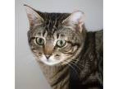 Adopt Carson a Domestic Shorthair / Mixed cat in Silverdale, WA (25325652)