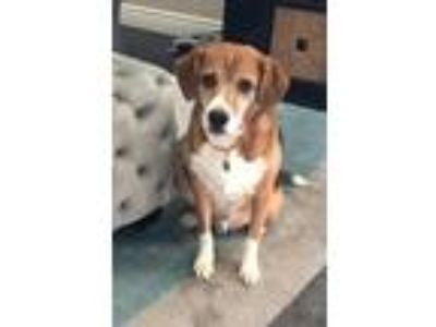 Adopt Bandit a Tricolor (Tan/Brown & Black & White) Beagle / Mixed dog in