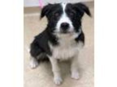 Adopt Purkinje a Black German Wirehaired Pointer / Border Collie / Mixed dog in