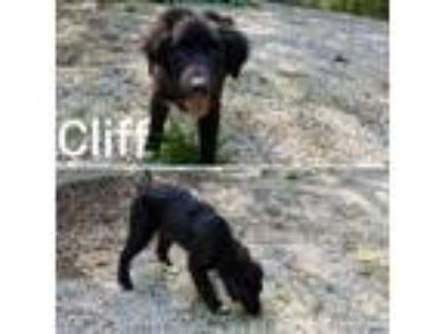 Adopt Cliff a Labrador Retriever, Newfoundland Dog