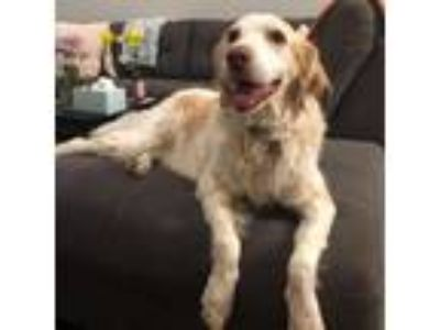 Adopt Sadie a White - with Tan, Yellow or Fawn Brittany / Golden Retriever dog
