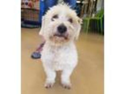 Adopt Olaf - Chino Hills a White Poodle (Miniature) / Mixed dog in Chino Hills