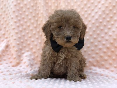 Goldendoodle-Poodle (Miniature) Mix PUPPY FOR SALE ADN-94969 - Colorado    F1b Mini