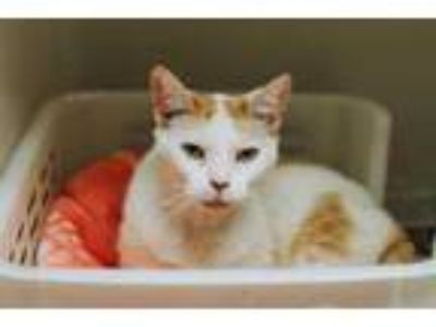 Adopt 33717A Courtney a Orange or Red Domestic Shorthair / Domestic Shorthair /