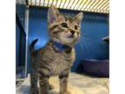 Adopt Kokiri a Gray or Blue Domestic Shorthair / Domestic Shorthair / Mixed cat