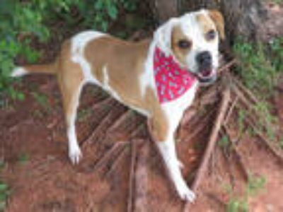 Adopt a White - with Brown or Chocolate Boxer / Mixed dog in Oklahoma City